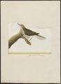 Enicocichla aurocapilla - 1700-1880 - Print - Iconographia Zoologica - Special Collections University of Amsterdam - UBA01 IZ16300191.tif