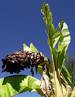 Ensete ventricosum - Flower and top leafs.jpg