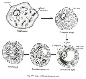 Entamoeba coli - Stages of the Entamoeba coli parasite
