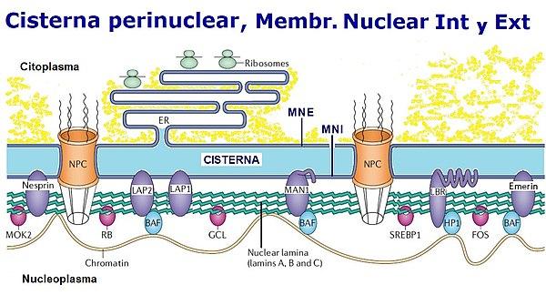 Envoltura Nuclear Wikiwand