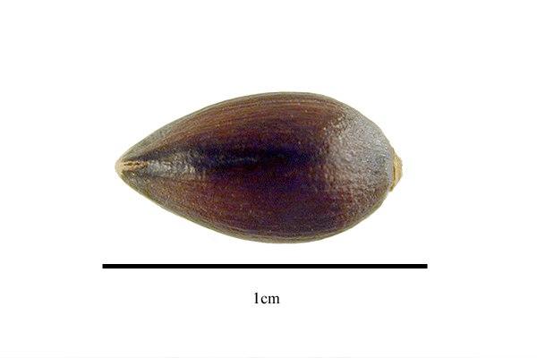 Ephedra-ciliata-seed.jpg