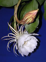 Epiphyllum oxypetalum flower with a flower bud ready to bloom.