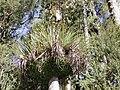 Epiphytes on kahikatea.jpg
