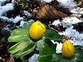 Eranthis hyemalis (winterakoniet) 02.jpg