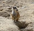 Erdmaennchen Suricata suricatta Tierpark Hellabrunn-5.jpg