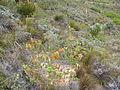 Erica abietina ssp. aurantiaca Baines Kloof.jpg
