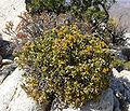 Ericameria cuneata var spathulata 1.jpg