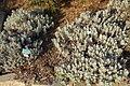 Eriogonum crocatum - San Luis Obispo Botanical Garden - DSC06039.JPG
