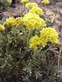 Eriogonum douglasii-6-03-04.jpg