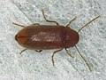 Ernobius mollis (42411355894).jpg