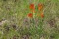 Erysimum capitatum - Flickr - aspidoscelis.jpg