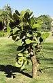 Erythrina latissima, KZN NBT.jpg