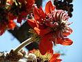 Erythrina latissima, bloeiwyse, a, Pretoria.jpg