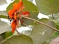 Erythrina subumbrans (Hassk.) Merr. (30910819490).jpg