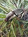 Escarabajo click 008.jpg