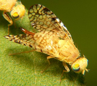 Tephritidae Family of fruit flies