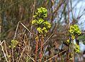 Euphorbia Brestot.jpg