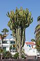 Euphorbia candelabrum. Avenida de las Playas. Puerto del Carmen. Lanzarote.jpg