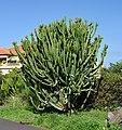 Euphorbia candelabrum Calle Verode Puerto de la Cruz.jpg
