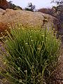 Euphorbia gariepina.JPG
