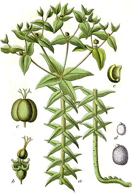 Euphorbia lathyris - Illustration von Jacob Sturm