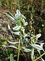 Euphorbia marginata sl3.jpg