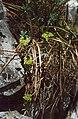 Euphorbia saxatilis 2.jpg