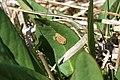 Euphydryas aurinia, Drugeon - img 21305.jpg