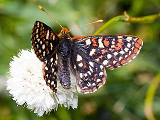 Ediths checkerspot Species of butterfly