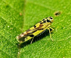 meaning of leafhopper
