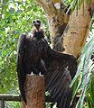 Eurasian Black Vulture, Nandankanan Zoo.jpg