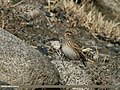 Eurasian Skylark (Alauda arvensis) (23942439581).jpg