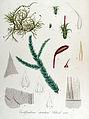 Eurhynchium striatum — Flora Batava — Volume v13.jpg