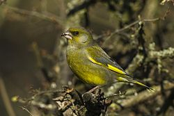 European Greenfinch - Italy S4E5435 (23013963086).jpg