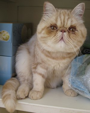 Exotic Shorthair - Male Exotic Shorthair - 12 months