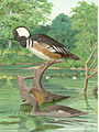 FMIB 41924 Hooded Merganser Upper figure male, lower figure female.jpeg
