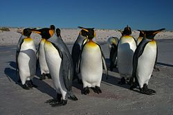 Falkland Islands Penguins 62.jpg