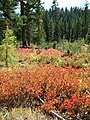 Fall Huckleberry, Wallowa-Whitman National Forest (26195908964).jpg