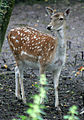 Fallow Deer 2 (2761794467).jpg