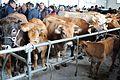 Feira de gando de Monterroso, gando vacún (3).JPG