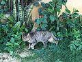 Felis catus At Obour by Hatem Moushir 2.jpg