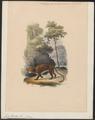 Felis pardus - 1842-1849 - Print - Iconographia Zoologica - Special Collections University of Amsterdam - UBA01 IZ22100210.tif