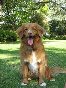 Female Nova Scotia Duck Tolling Retriever.jpg