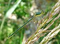 Female Small Emerald Damselfly. Lestes virens ssp vestalis. (30940430962).jpg