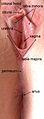 Female anatomy.jpg
