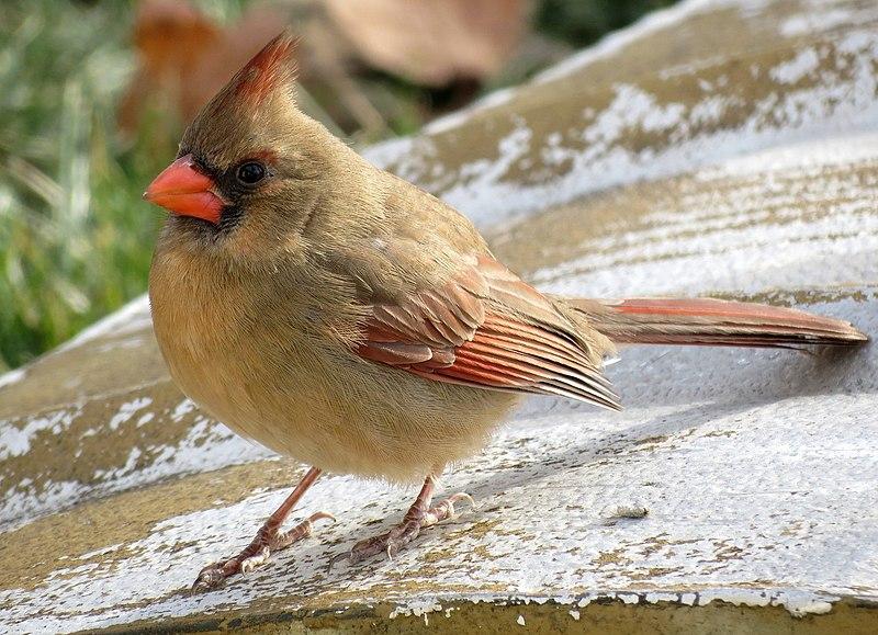 File:Female northern cardinal (6778224297).jpg