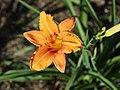 Fenceline Daylilies - 9275108475.jpg