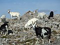 Feral goats grazing on summit of Sgorr nam Fiannaidh - geograph.org.uk - 1102552.jpg