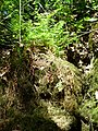Fern and moss - panoramio.jpg