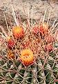 Ferocactus echidne 04.jpg